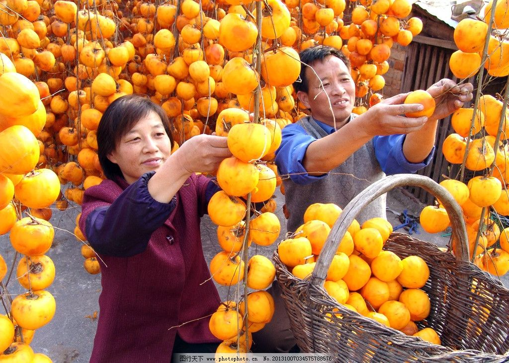 的喜悦 柿子 秋天 丰收 喜悦 水果 田园风光 自然景观 摄影 72dpi-高铁图片
