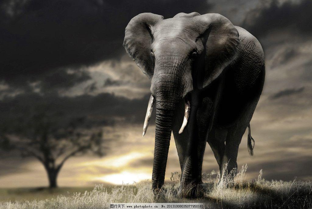 非洲大象高清摄影图片