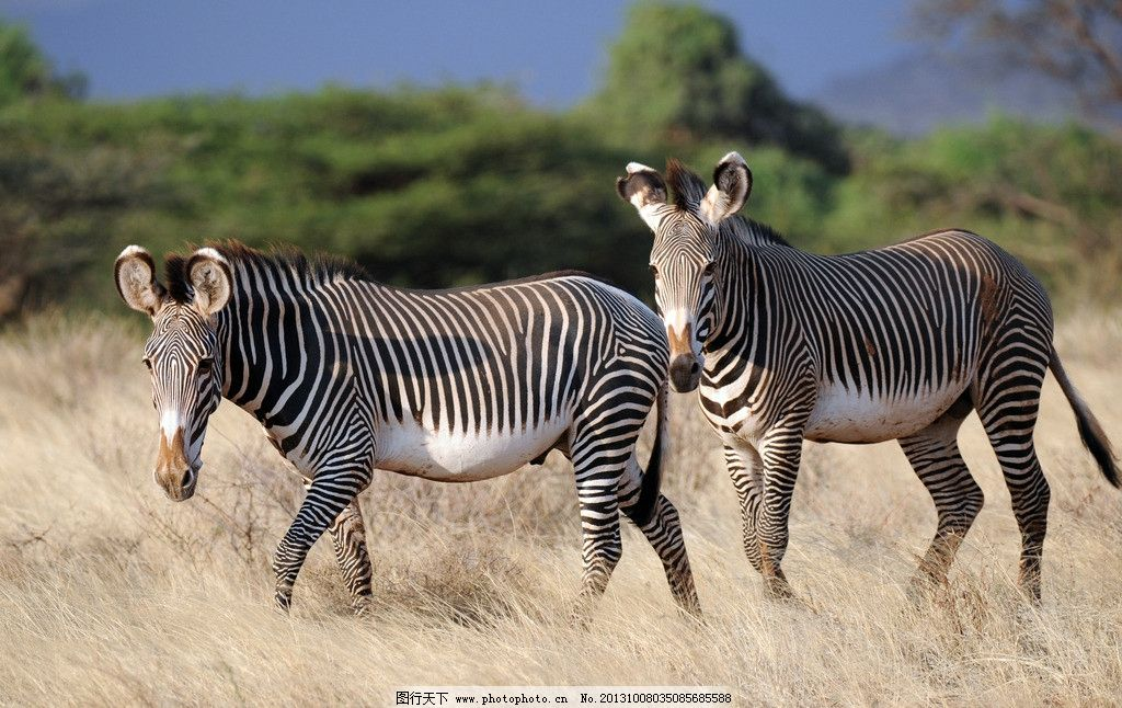 斑马草原摄影 斑马 成年斑马 非洲草原 动物园 动物世界 野生动物