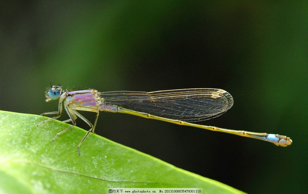 蜻蜓特写高清摄影 蜻蜓 昆虫 小虫子 动物 飞虫 大自然 绿叶 植物