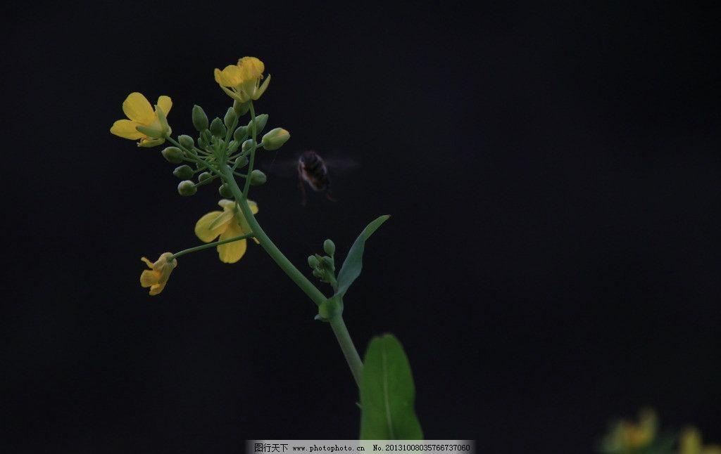 油菜花 油菜花图片素材下载 黄色 丰收 田园 绽放 花草 生物世界