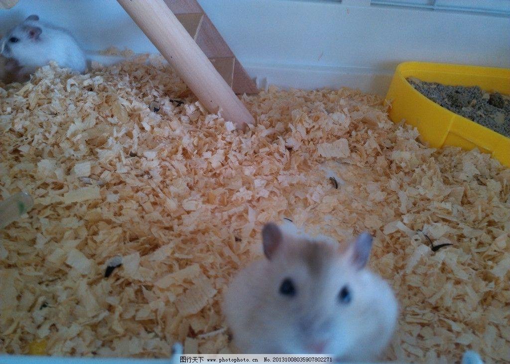 仓鼠 动物 小动物 小仓鼠 笼子 家禽家畜 生物世界 摄影 72dpi jpg