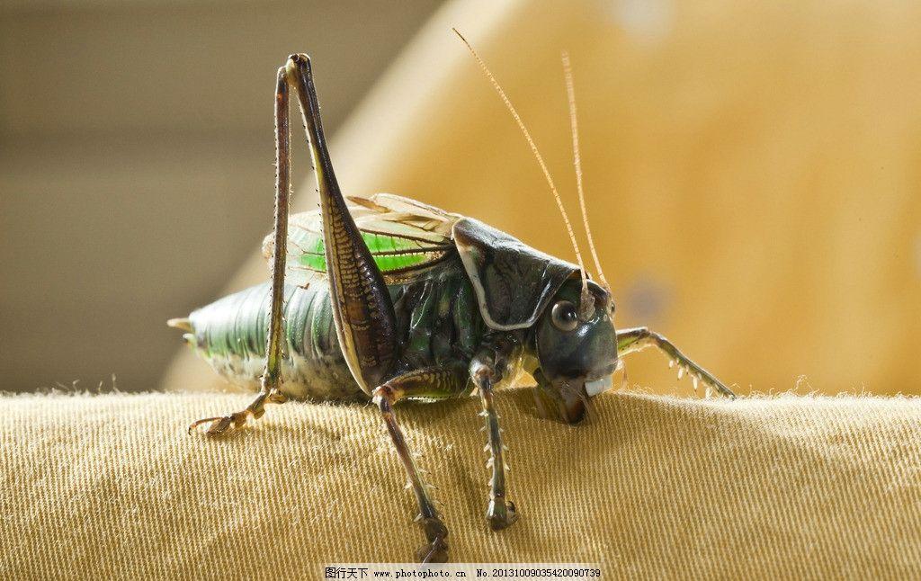蝈蝈锋利的口器 蝈蝈 家中宠物 短翅鸣螽 节肢动物门 昆虫纲 直翅目