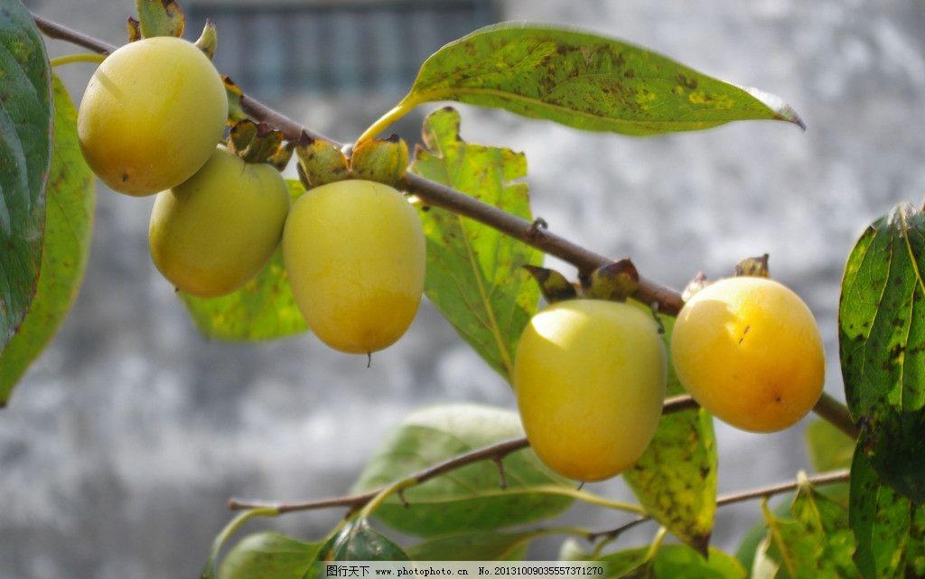 柿子 果实 水果 柿子树