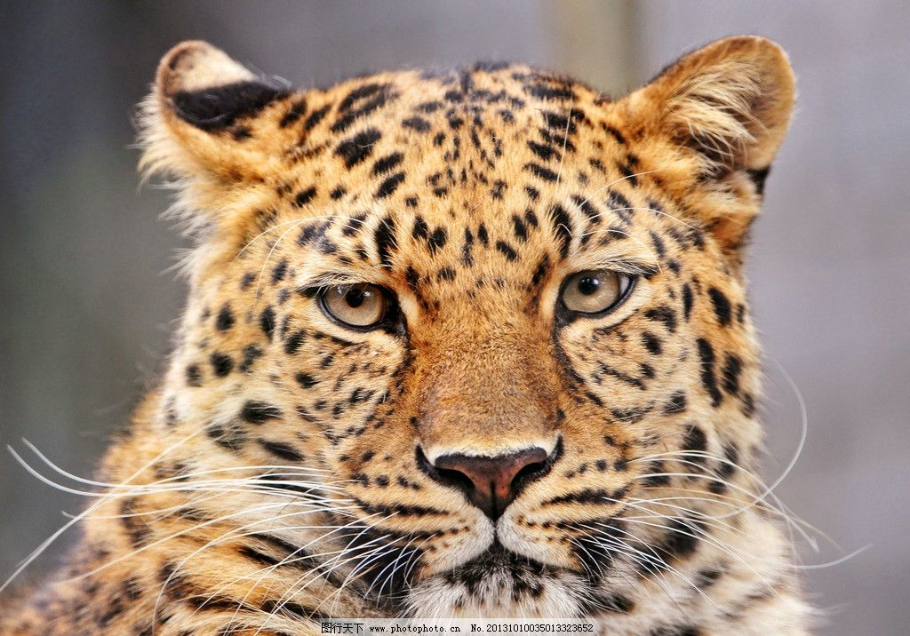 猎豹图片_野生动物_生物世界_图行天下图库