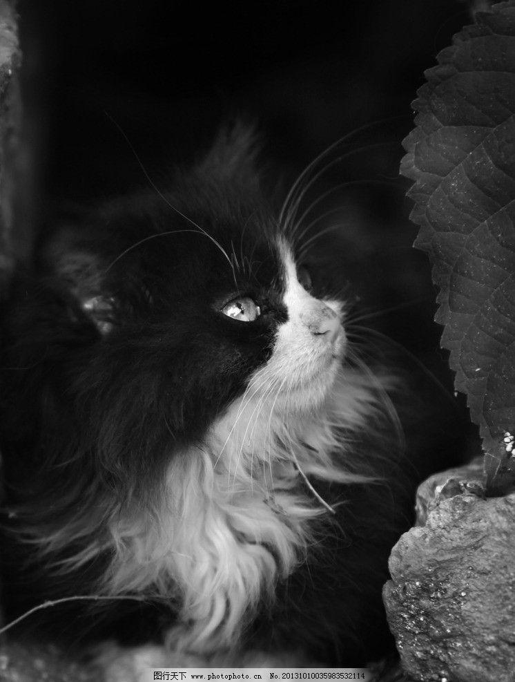 猫咪 猫 动物 黑白动物照 流浪猫 家禽家畜 生物世界 摄影 72dpi jpg