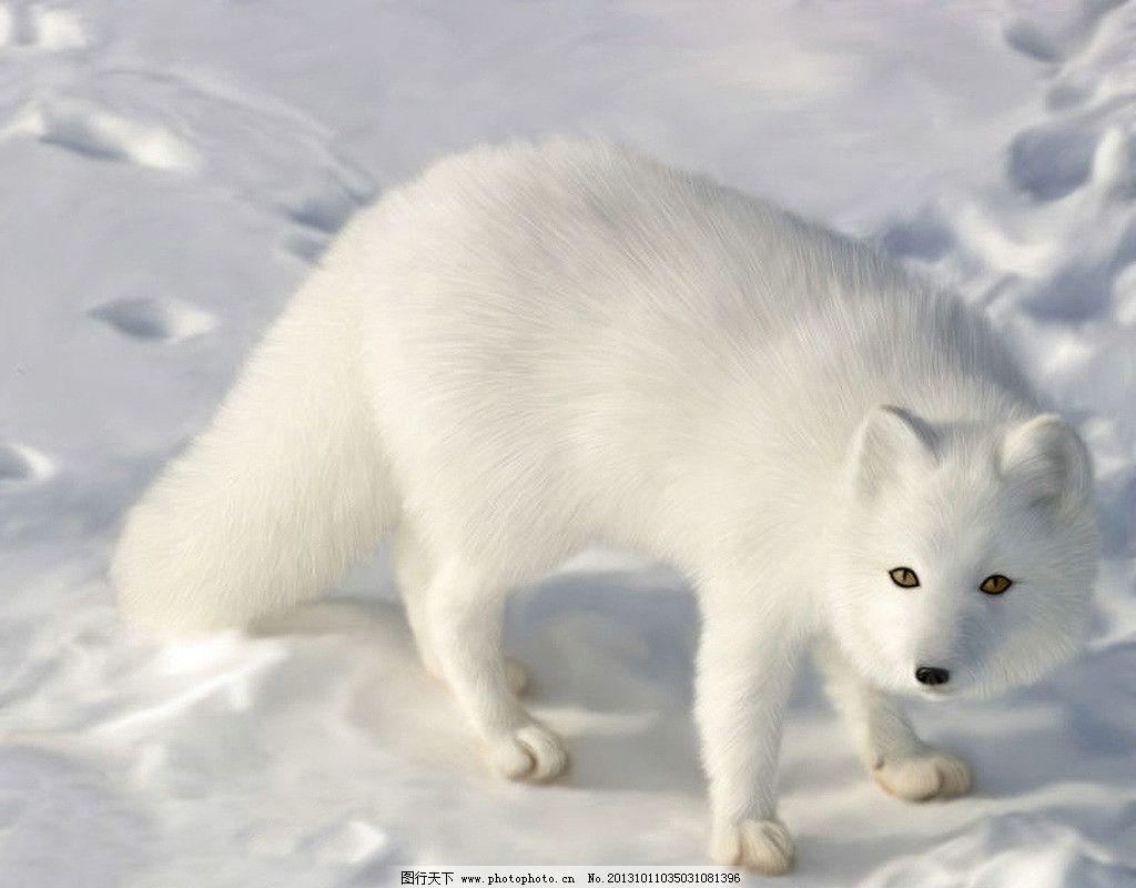白狐 狐狸 千年白狐 雪狐 雪地 北极狐 动物 野生动物 生物世界