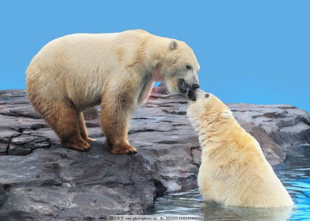北极熊之吻 动物 摄影 动物摄影 哺乳动物 猛兽 海水 蓝幕 岩石