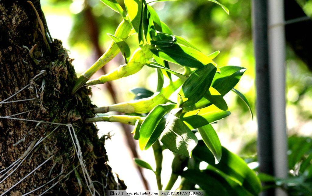 天然的铁皮石斛 生态环境 森林 潮湿 天然 药用植物 仿野生铁皮石斛