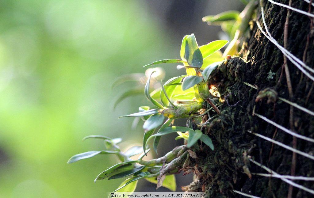 天然石斛 森林 树干 阳光 生态 药用植物 仿野生铁皮石斛专题 花草
