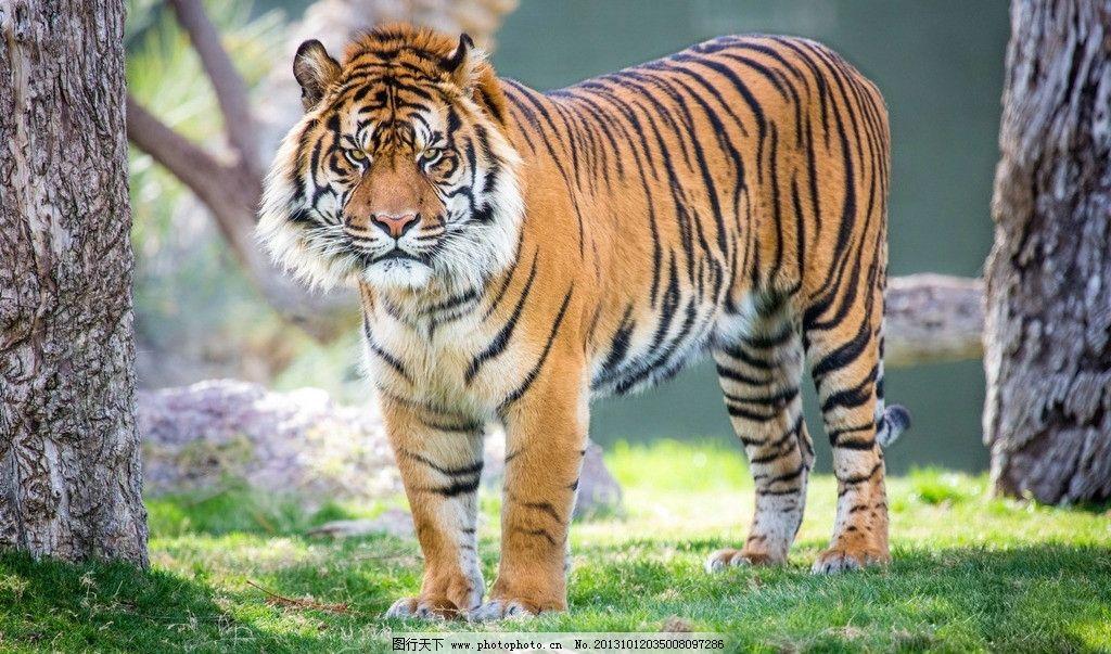 苏门答腊虎 老虎 动物 凶猛 外景 摄影 野生动物 生物世界 72dpi jpg