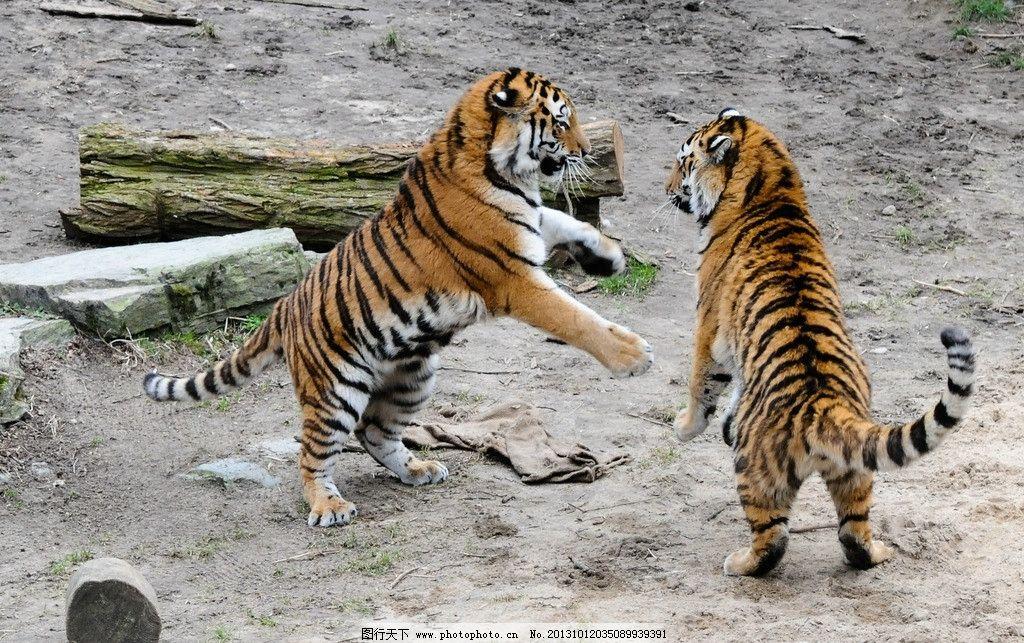 老虎 东北虎 小老虎 华南虎 猫科动物 森林 树林 百兽之王 森林之王
