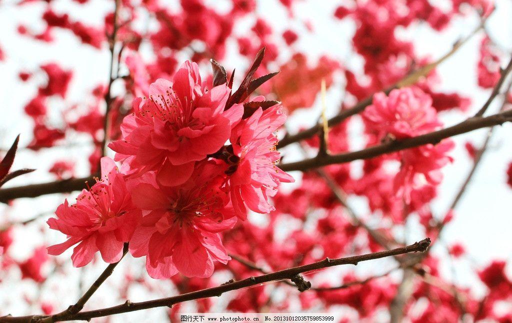 自然风景 红色桃花图片