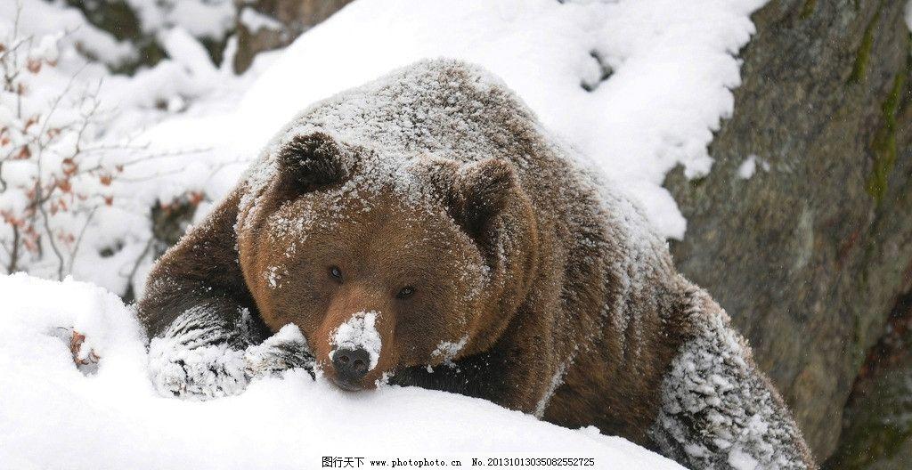 雪地里的熊 狗熊 棕熊 灰熊 雪地 动物 哺乳动物 野生动物 生物世界