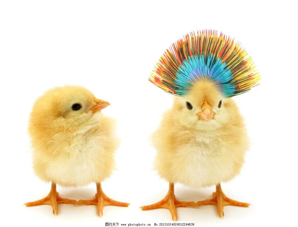 小鸡 动物 可爱 萌态 家禽 设计 羽毛 鸡冠 家禽家畜 生物世界 300dpi