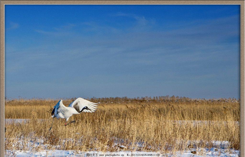 起飞中的丹顶鹤图片