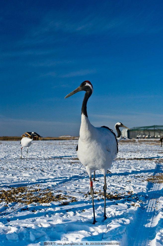 雪中丹顶鹤图片