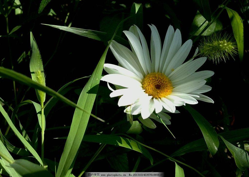菊花 鲜花 花朵 花草 花卉 生物世界 自然风景 摄影