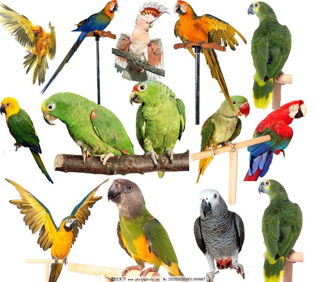 动物素材 动物 鸟 鹦鹉