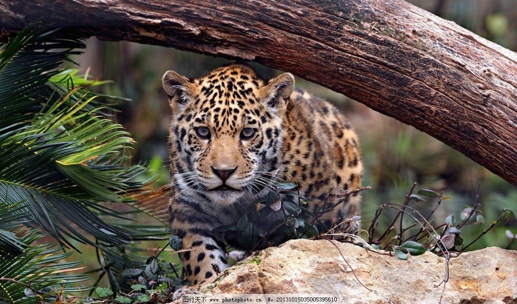 金钱豹 美洲豹 豹子 动物 生物 生物世界 野生动物 摄影