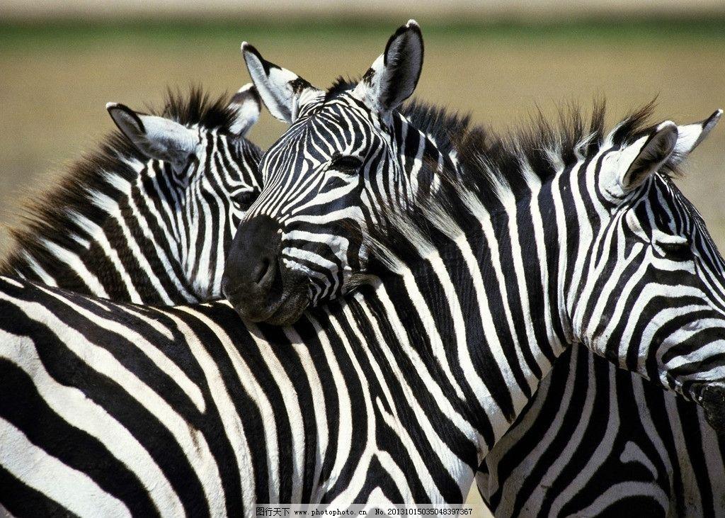 野生斑马 野生动物园 动物 斑马 自然景观 野生动物 生物世界 摄影 72