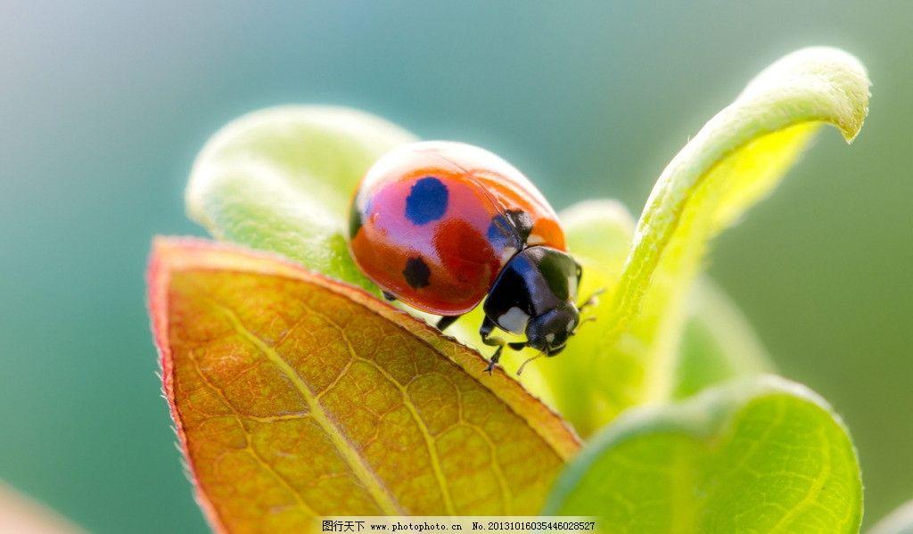 瓢虫 七星瓢虫 虫子 爬行动物 昆虫 叶子 树叶 植物 生物 绿叶