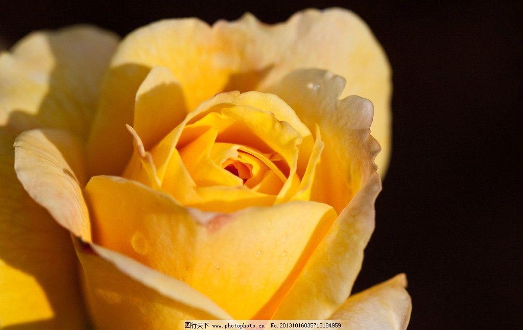 玫瑰花 鲜花 花朵 花 花草