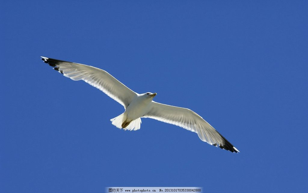 海鸥 飞鸟 鸟儿 飞翔 飞行 天空 自由 信天翁 蓝天 鸟类 生物世界