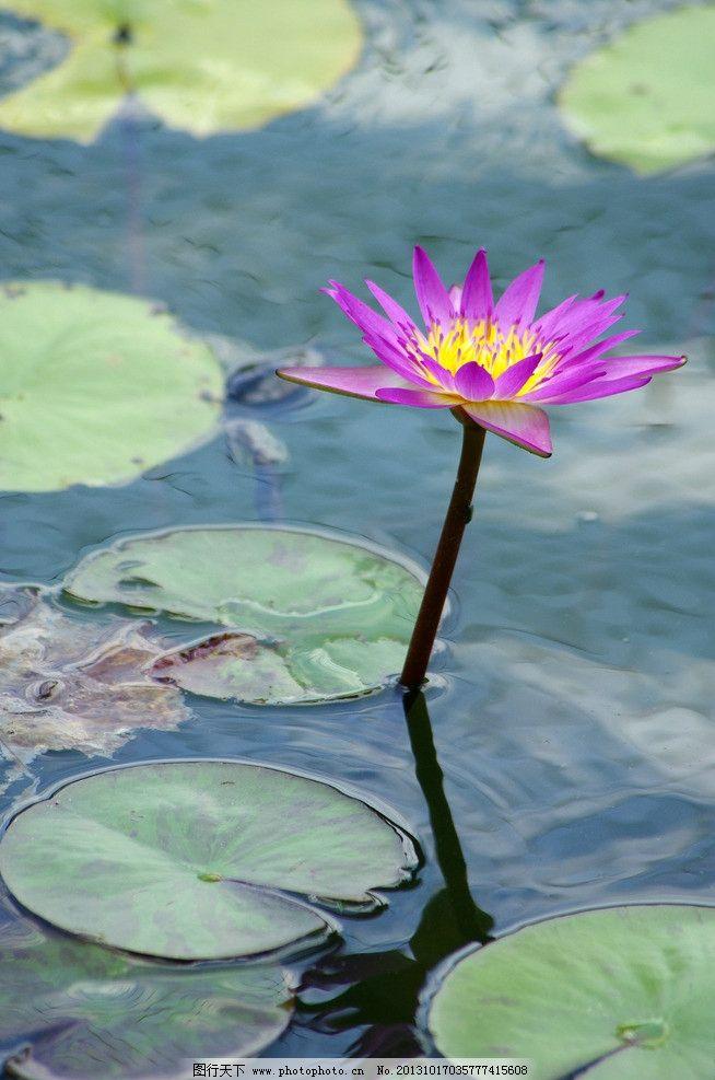 荷花 厦门大学 池塘 夏天 风景 植物 花草 生物世界 摄影