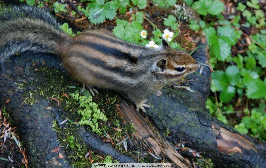 松鼠 小动物 森林 毛茸茸 花纹 野生动物 生物世界 摄影 300dpi jpg