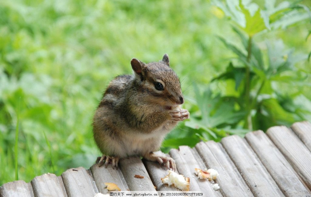 松鼠 小动物 森林 毛茸茸 花纹 吃东西 野生动物 生物世界 摄影