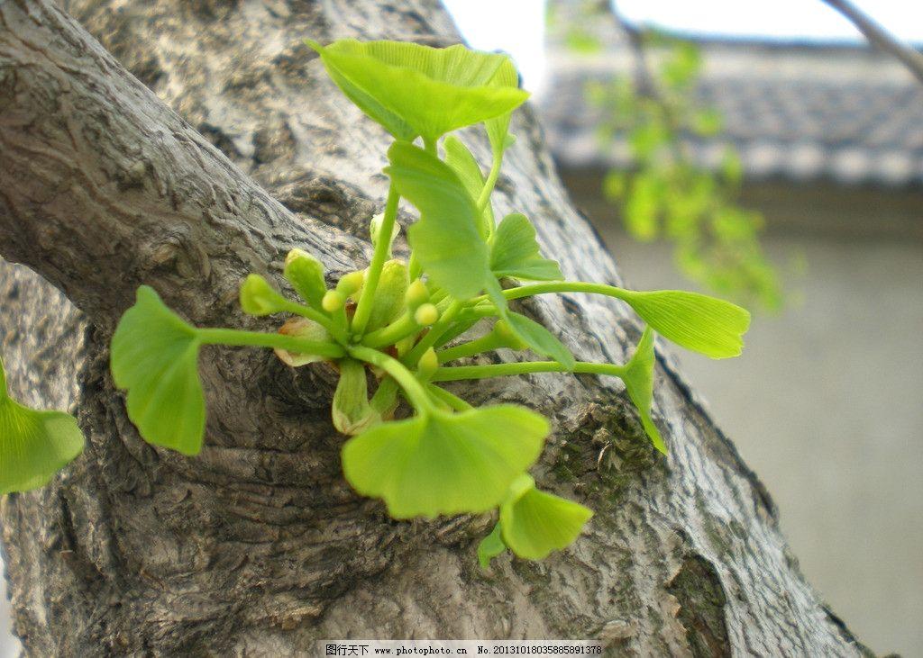 银杏 嫩芽 树干 银杏树 树木树叶 生物世界 摄影 300dpi jpg