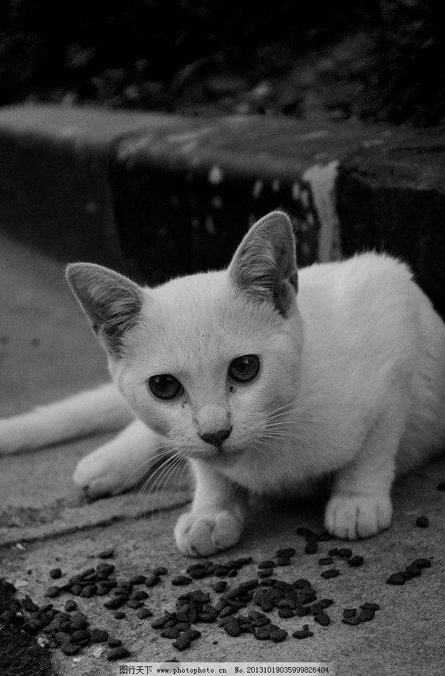 黑白猫咪 黑白 猫 摄影 动物 家禽家畜 生物世界 72dpi jpg