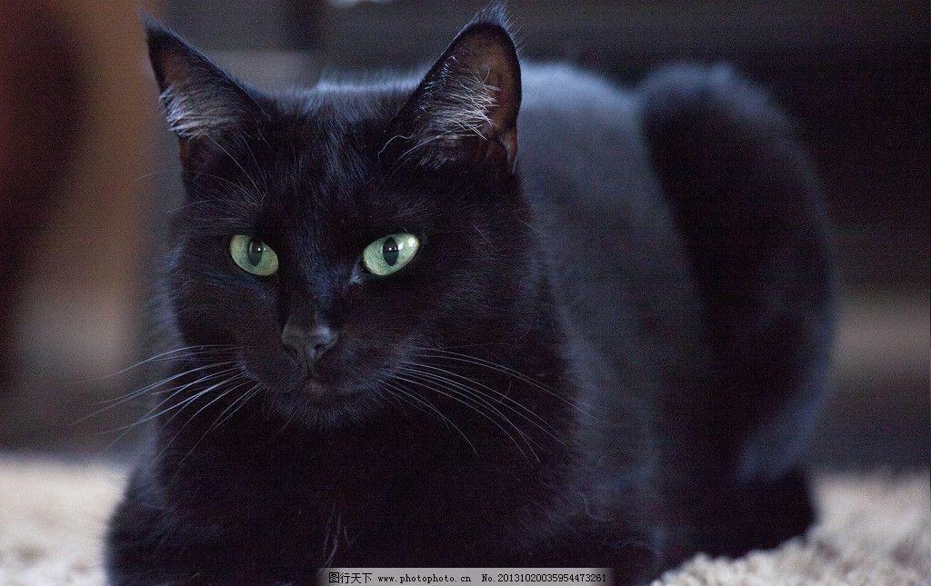 埃及黑猫图片