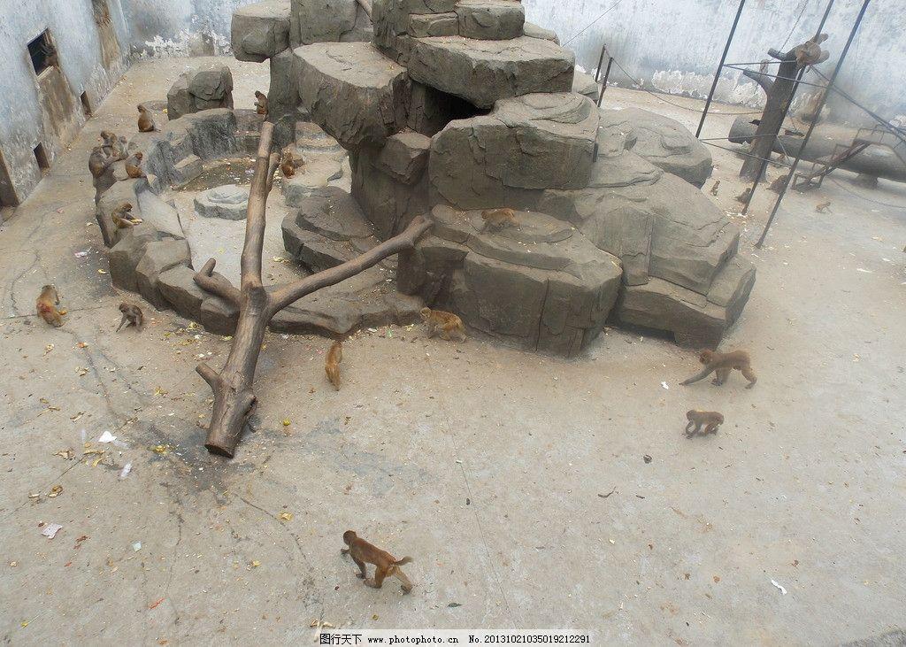 猴山 景山 动物 猴子 哺乳 岩石 景山动物园 野生动物 生物世界