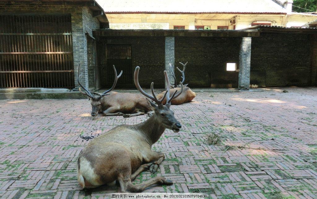 长角鹿 动物园图片