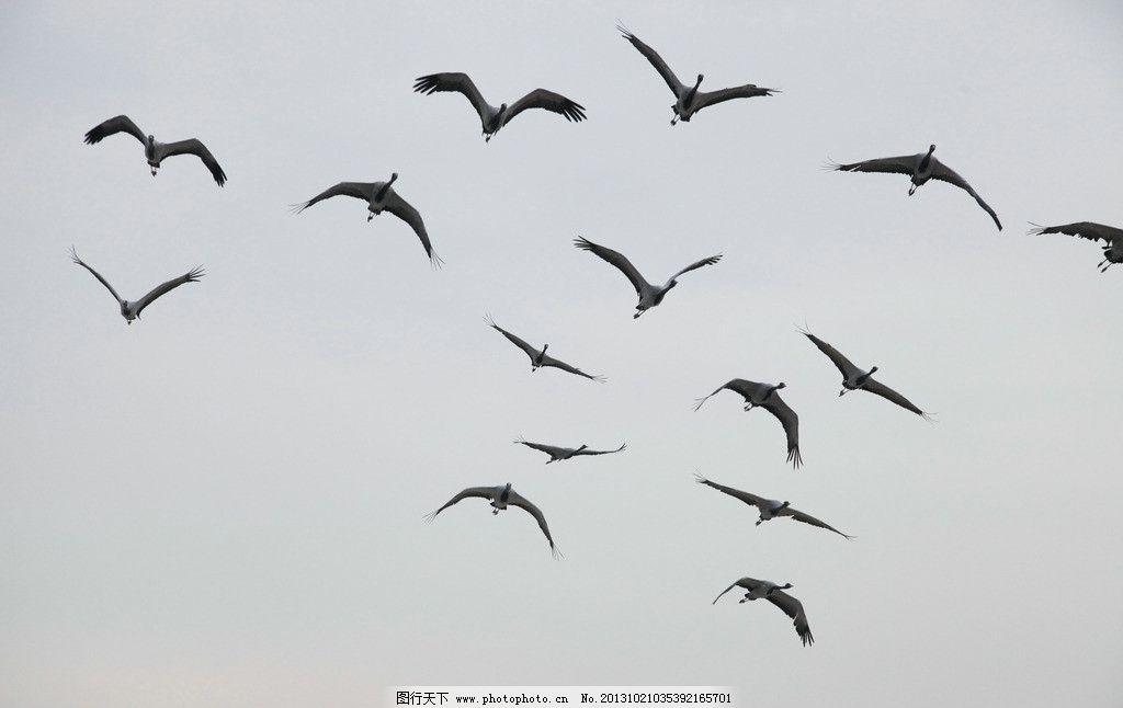 丹顶鹤 鸟 飞鸟 鹤 丹顶鹤飞翔 鸟类 生物世界 摄影 120dpi jpg