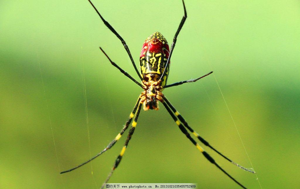 蜘蛛 昆虫 蜘蛛网 红蜘蛛 动物 害虫 生物世界 摄影 72dpi jpg