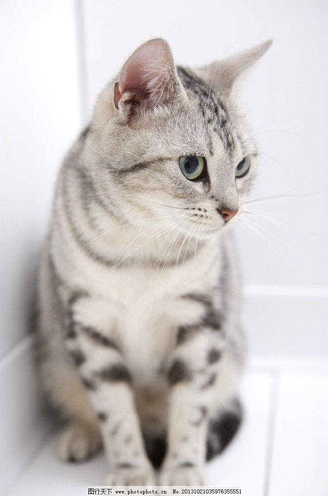 宠物猫图片素材下载 猫 小猫 小花猫 小懒猫 猫咪艺术照 玩耍小猫