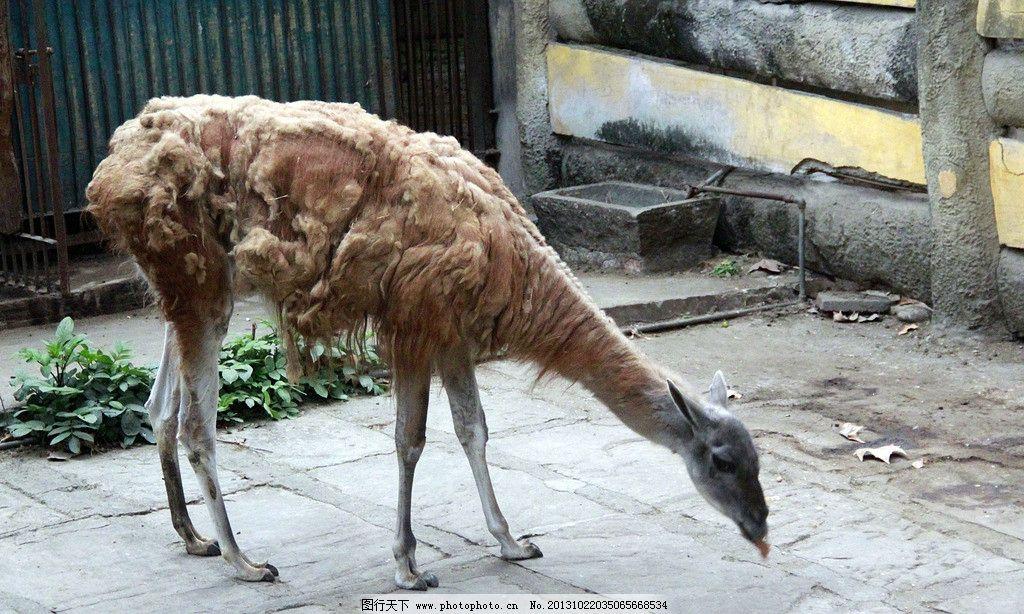 羊 驼羊 野羊 动 动物 野生动物 哺乳动物 动物世界 生物 生物世界