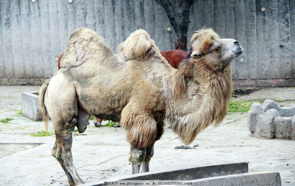 骆驼 动物 野生动物 哺乳动物 动物世界 生物 生物世界 摄影 72dpi