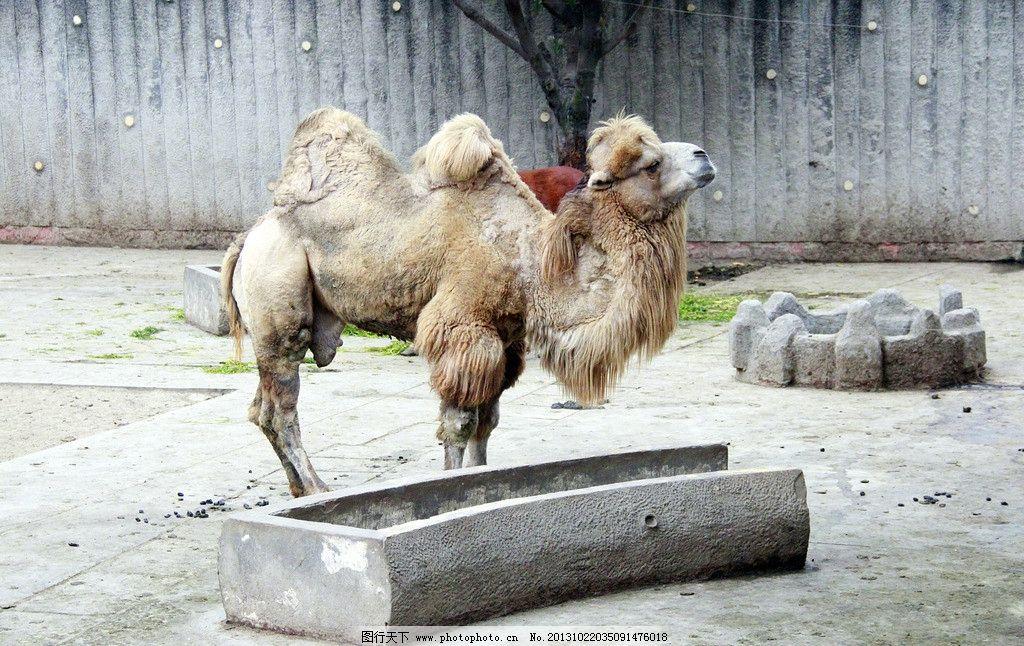 骆驼 动物 野生动物 哺乳动物 动物世界 生物 生物世界 摄影