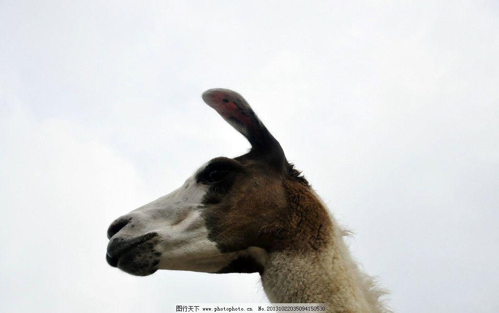 骆马头像 骆马 羊驼族