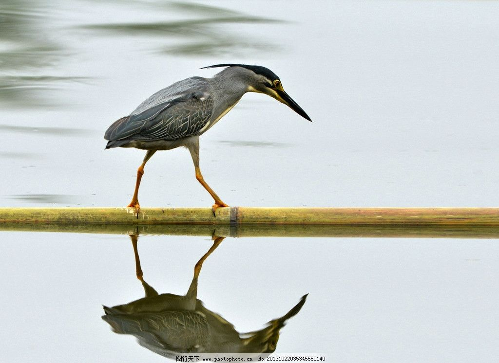 小鸟水中影 鸟 水中影 倒影 素材 吃鱼的鸟 竹杆 鸟类 生物世界 摄影