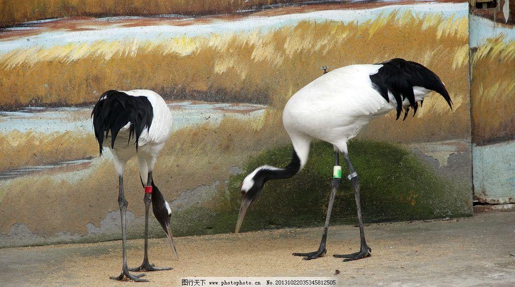 白鹤 鸟类 动物