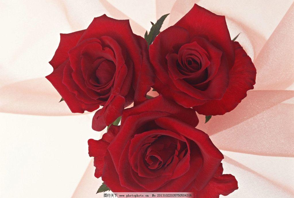 玫瑰花 花朵 红玫瑰 自然 花朵摄影 美丽 爱情 花草 生物世界图片