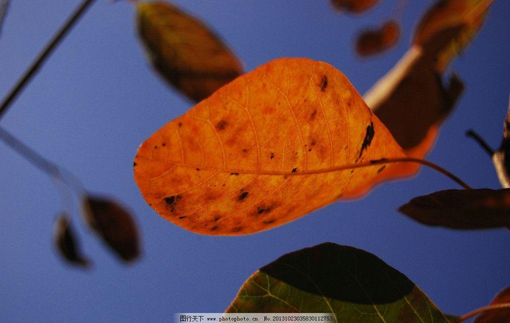树木树叶  深秋红叶 红叶 深秋 黄柞木 摄影 秋阳 高清 美图 树叶