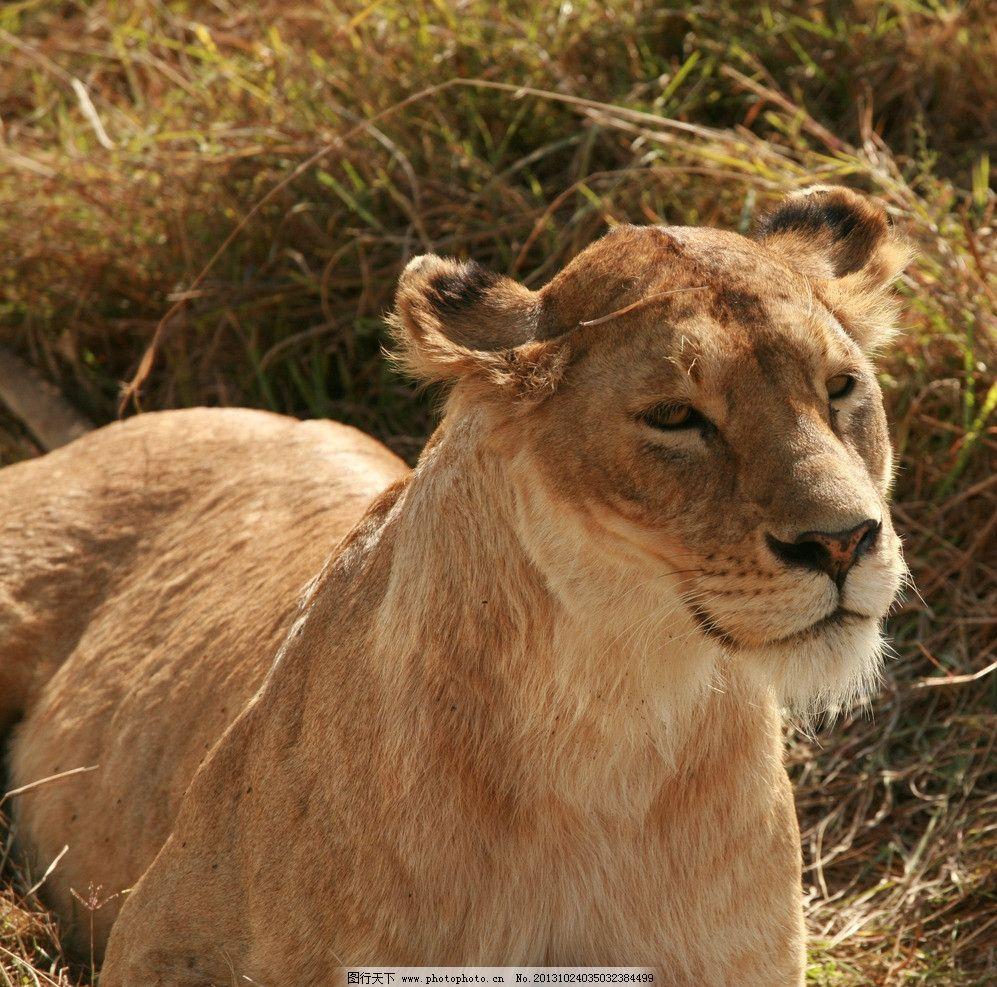 野生动物母狮子 野生动物 狮子 母狮子 狮子头 侧面狮子 生物世界