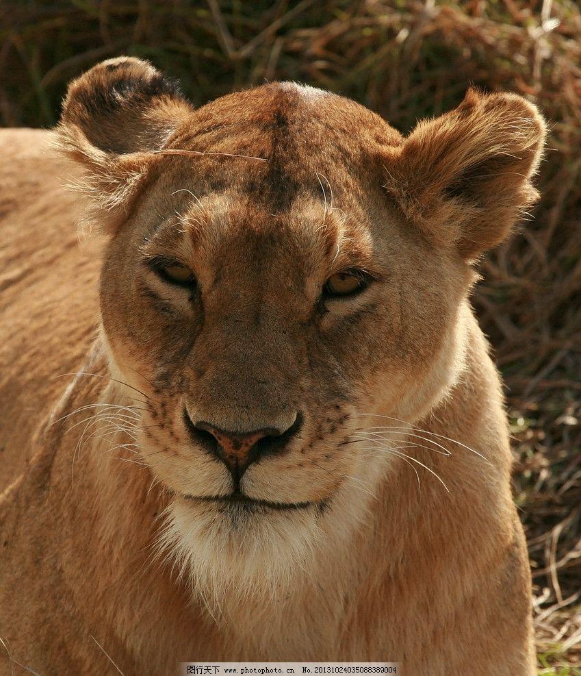 野生动物母狮子图片