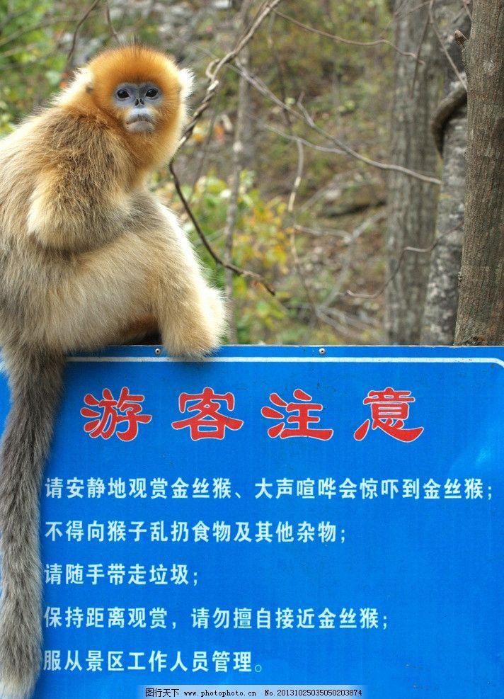 金丝猴 金丝猴图片素材下载 动物 保护动物 动物园 哺乳动物 野生动物